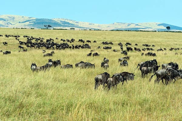 Northern Serengeti Great Wildebeest Migration Safari